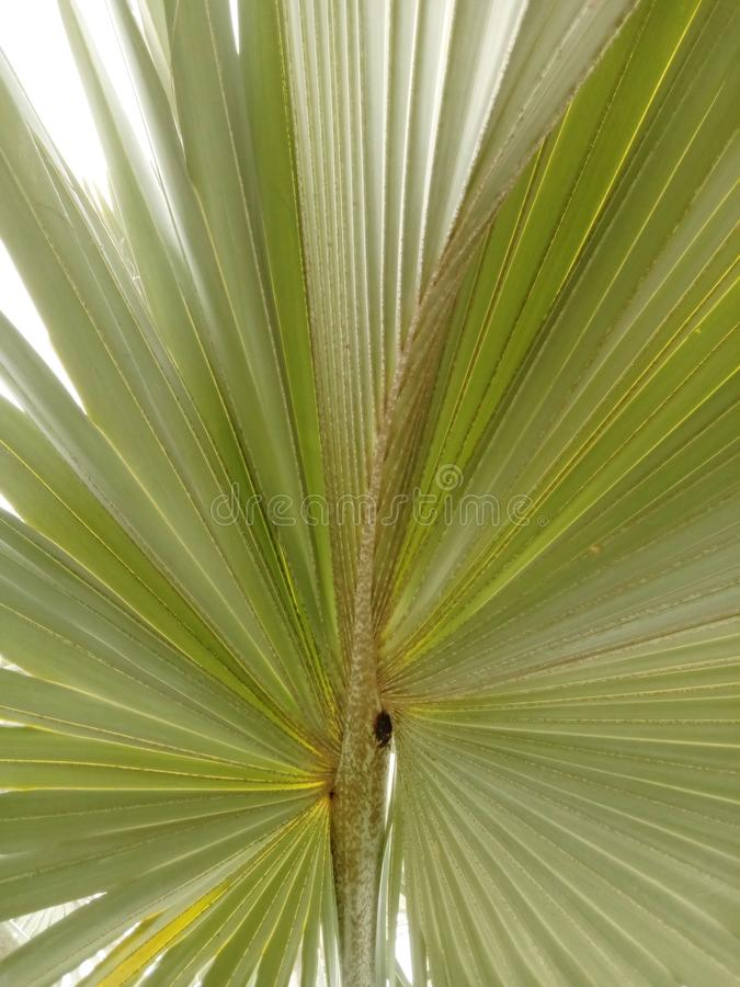 Bismarck palm tree and leaves on green grass and leaves is a single palm tree. Popular as an outdoor ornamental plant with high su. Nlight. Curved leaf shaped royalty free stock image