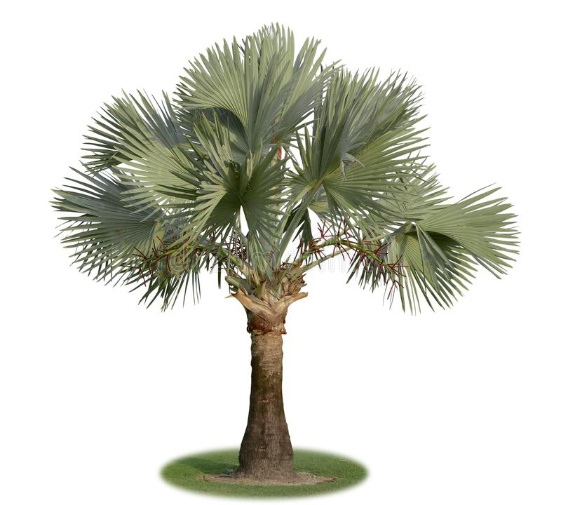Bismarck palmträd som isoleras på vit bakgrund arkivfoto