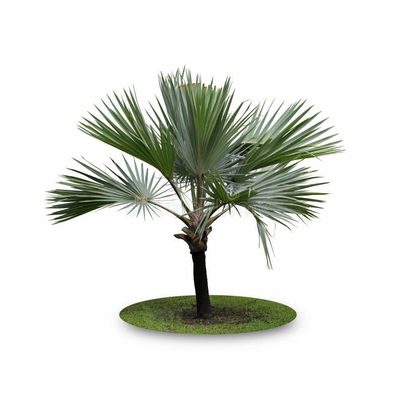 Bismarck palmträd som isoleras på vit bakgrund royaltyfria bilder