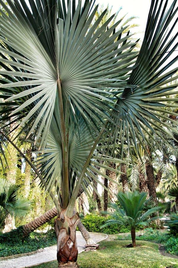 Bismarckia Nobilis palmträd i trädgården arkivfoton