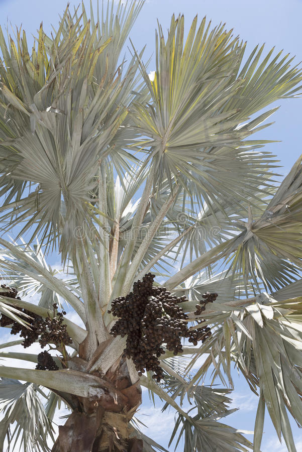 Bismark Palm and cluster of drupes. A Bismark Palm tree with a sizable cluster of dark brown ovoid drupes. The tree is native to Madagascar stock images