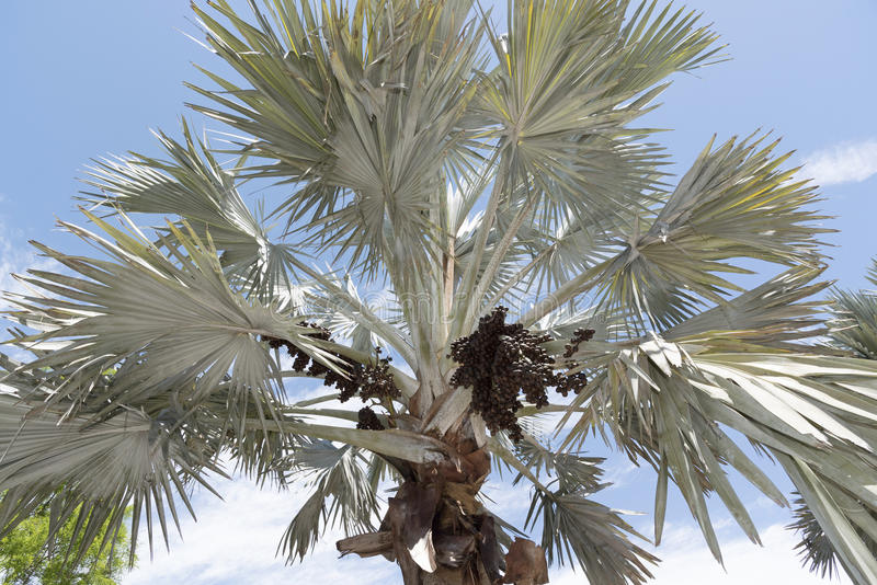 Bismark Palm and cluster of drupes. A Bismark Palm tree with a sizable cluster of dark brown ovoid drupes. The tree is native to Madagascar royalty free stock photos