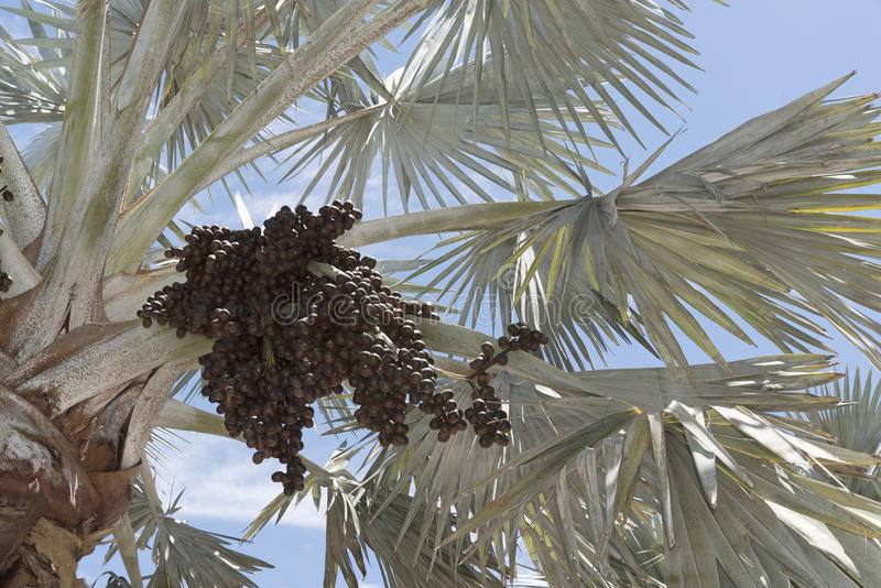 Bismark Palm and cluster of drupes. A Bismark Palm tree with a sizable cluster of dark brown ovoid drupes. The tree is native to Madagascar royalty free stock images