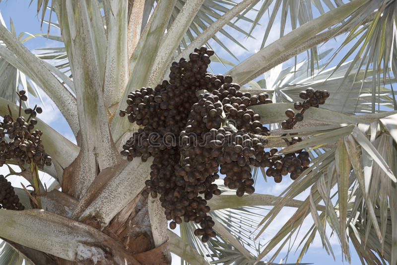 Bismark Palm and cluster of drupes. A Bismark Palm tree with a sizable cluster of dark brown ovoid drupes. The tree is native to Madagascar stock image