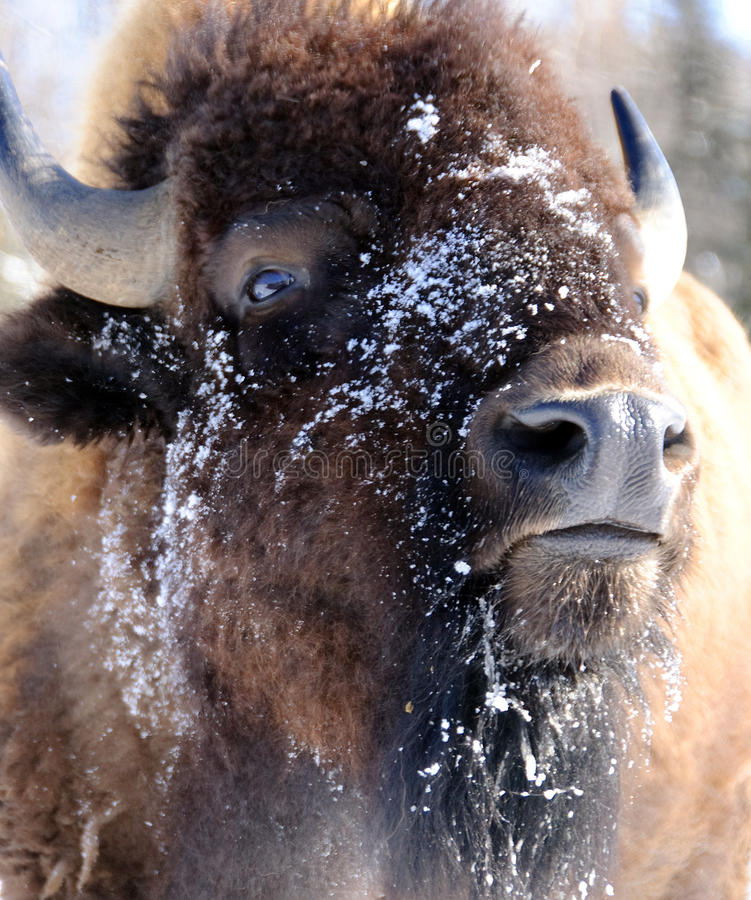Download Bison stock image. Image of wildlife, horn, beef, mammal - 10000989