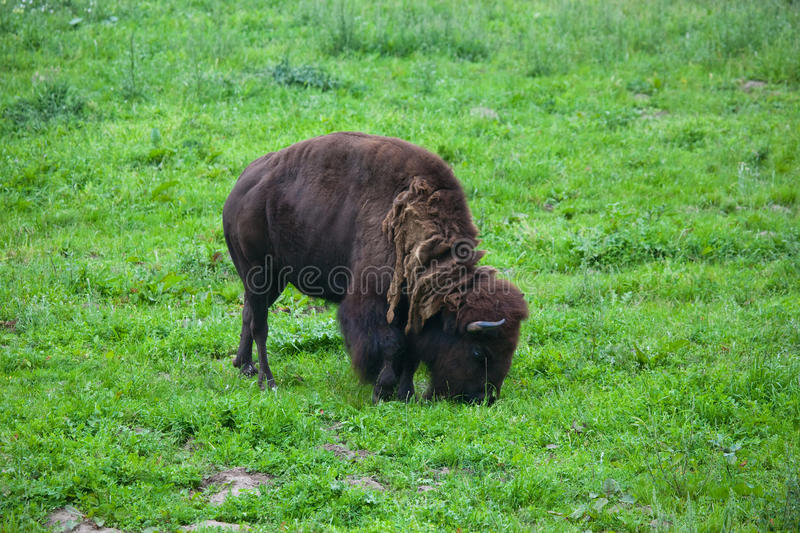 Download Bison Royalty Free Stock Photography - Image: 12538047