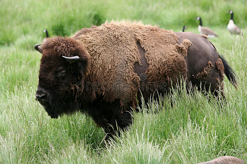 Download Bison stock image. Image of meal, animal, predator, wilderness - 14344319