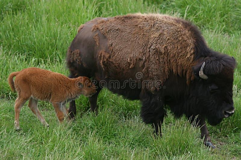 Download Bison stock image. Image of buffalo, bison, rearing, calf - 14344337