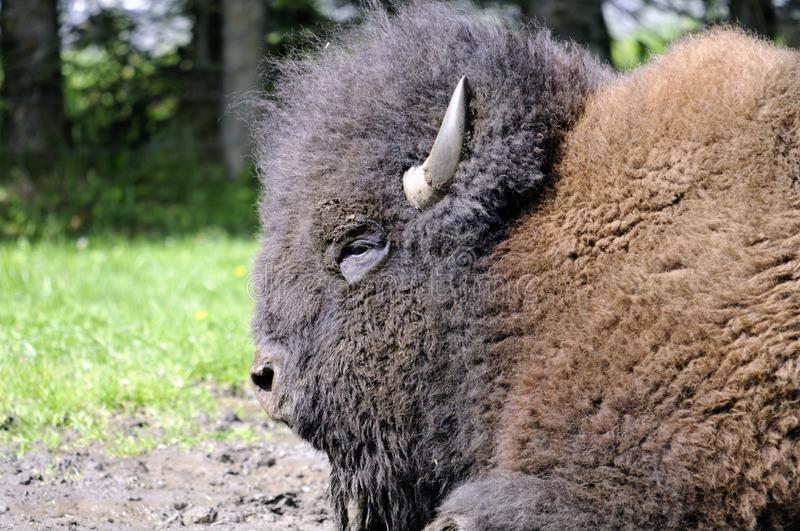 Download Bison stock photo. Image of head, india, buffalo, field - 16053308