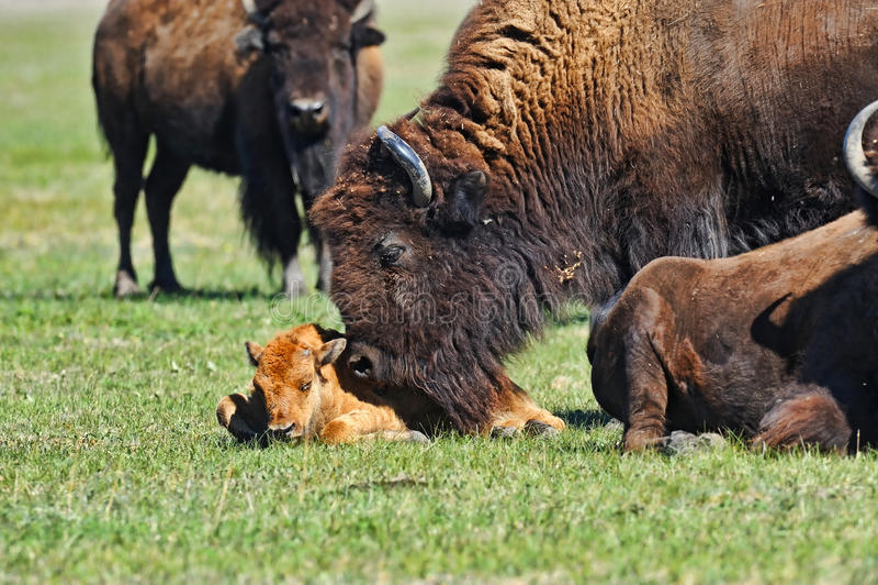 Download Bison stock image. Image of life, beasts, bull, wildlife - 16487099