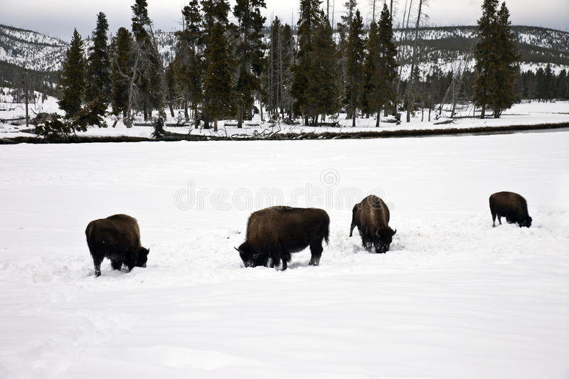 Bison photo stock