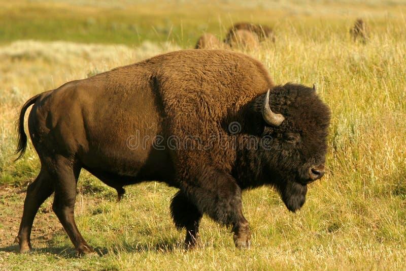 Bison images libres de droits