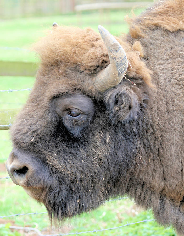 Free Bison 2 Stock Images - 10339164