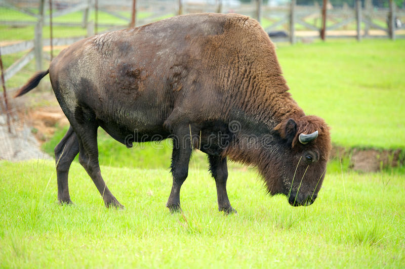 Download Bison stock image. Image of summer, brown, american, adult - 27592921