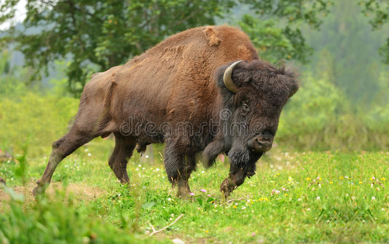 Bison photos stock