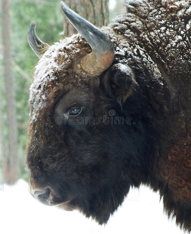 The bison royalty free stock photography