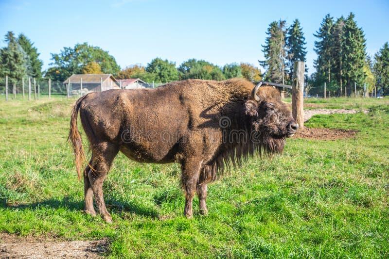 Bison photographie stock libre de droits