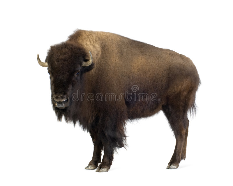 Bison. In front of a white background