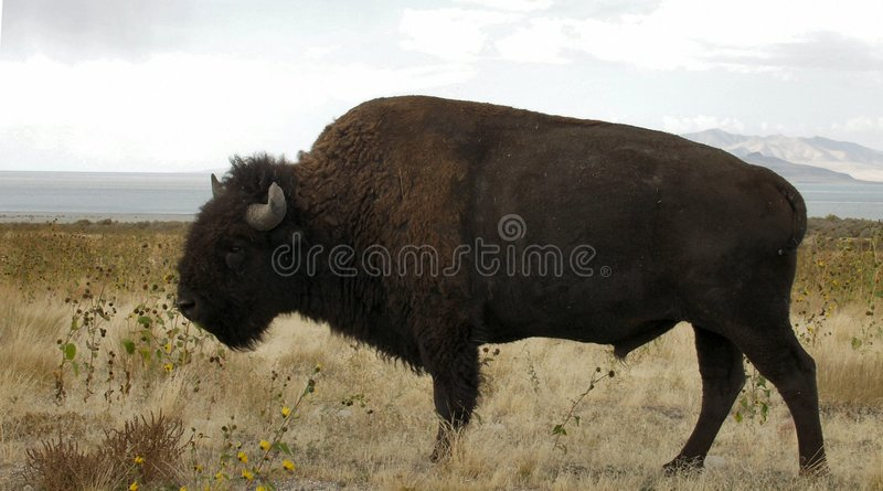 Download Bison stock image. Image of buffalo, mountains, brush, scenery - 44231