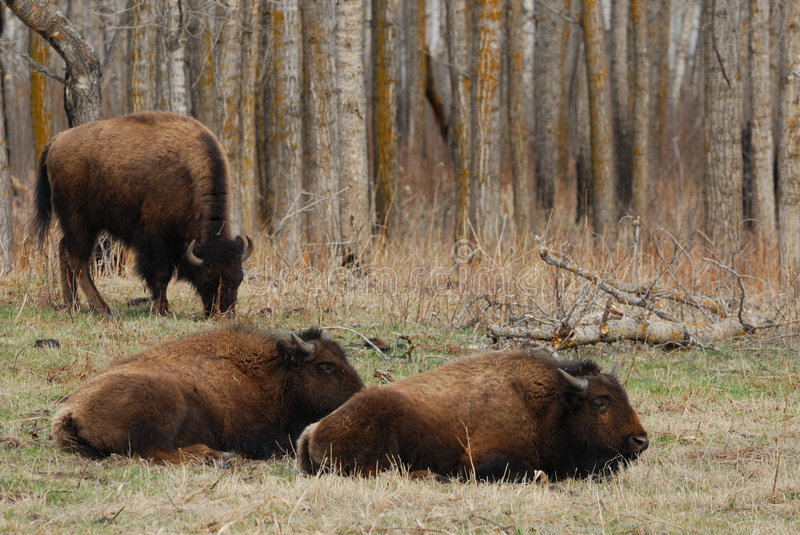 Bison photos stock