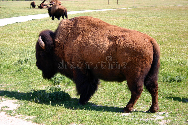 Bison Stockfotos