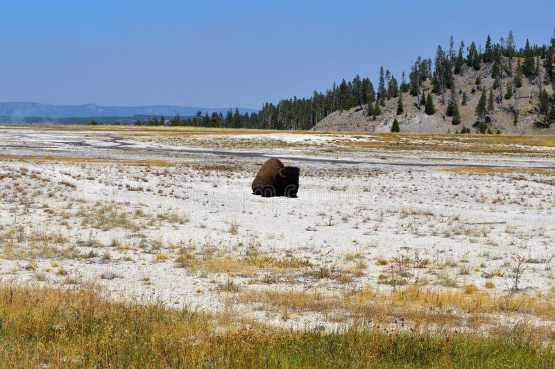 bison lizenzfreies stockfoto