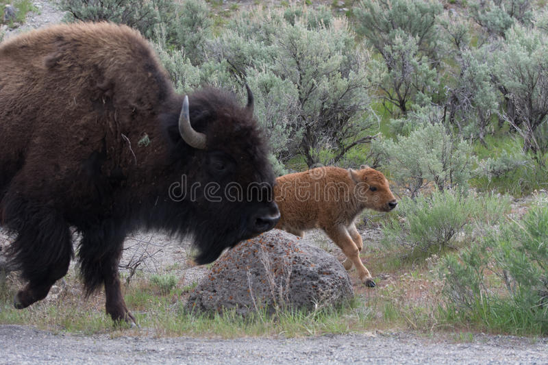 Bison Adult and Calf in Yellowstone National Park royalty free stock photography