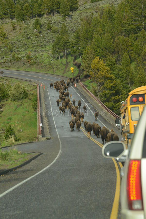 Free Bison Aka Buffalo Herd On A Migration Over A Bridge In Yellowstone Royalty Free Stock Photo - 54603815