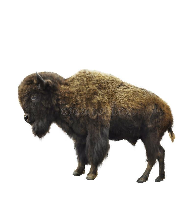 Bison américain illustration libre de droits
