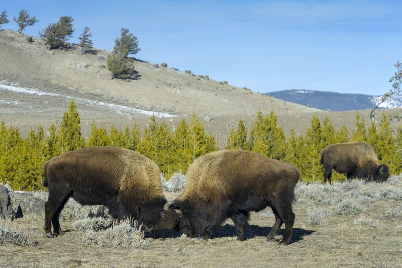 Bison américain combattant la vue de côté dans l'hiver images libres de droits