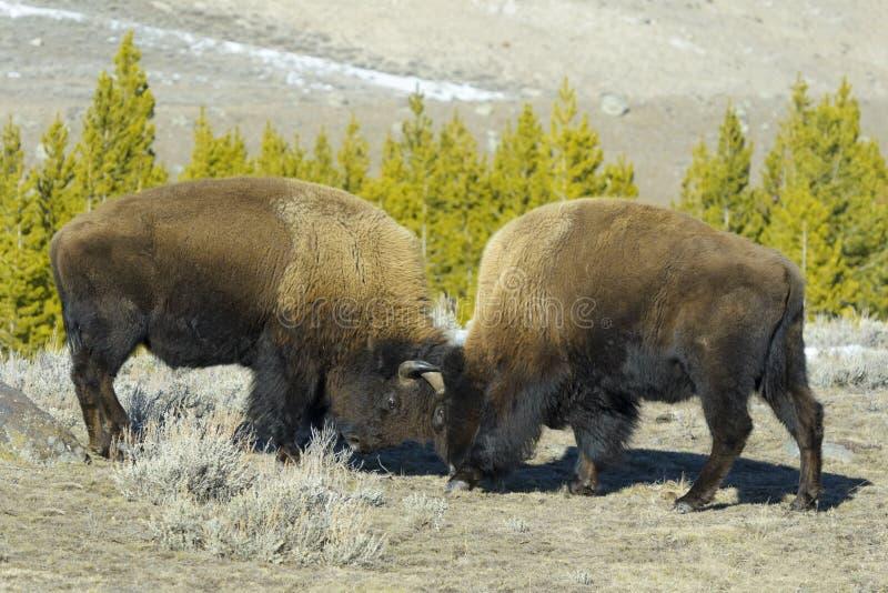 Bison américain combattant la vue de côté dans l'hiver images stock