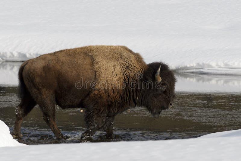 Bison américain en hiver images stock