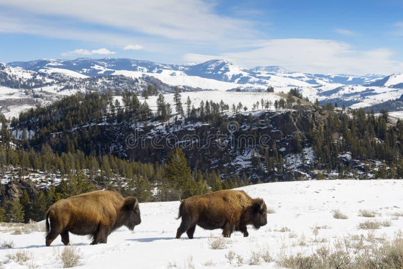 Bison américain marchant dans le paysage image stock