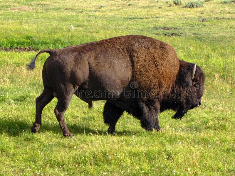 Bison or American buffalo walking in grass field royalty free stock images