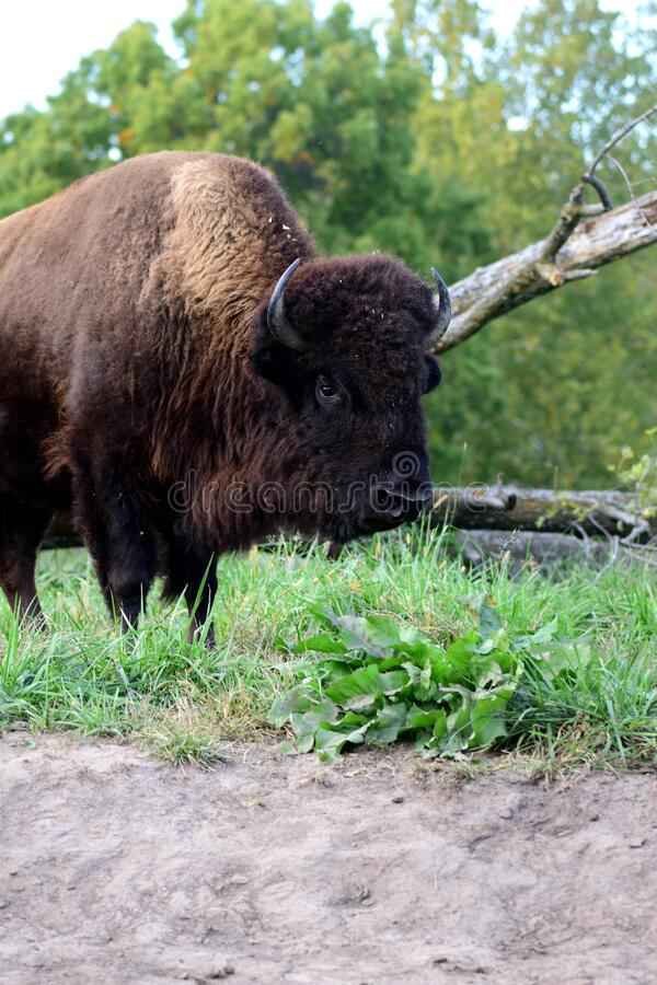 Bison bison royalty free stock photo