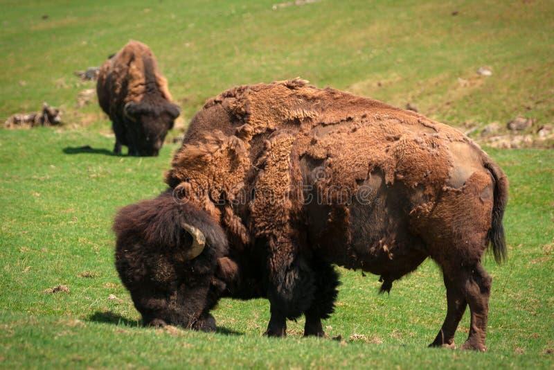Bison (amerikansk buffel) i vårruggningen som betar i fält arkivbild