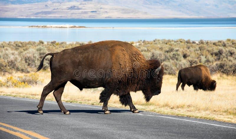 Bison, Antilopen-Insel stockbilder