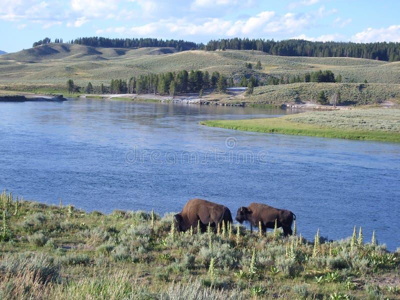Bison auf lakeshore lizenzfreie stockbilder