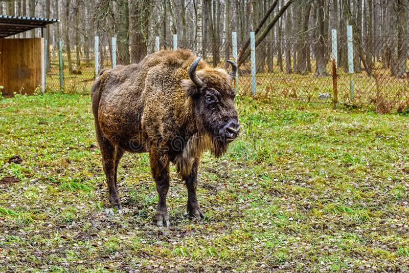 Bison, aurochs in the territory of the Prioksko-terraced reserve royalty free stock image