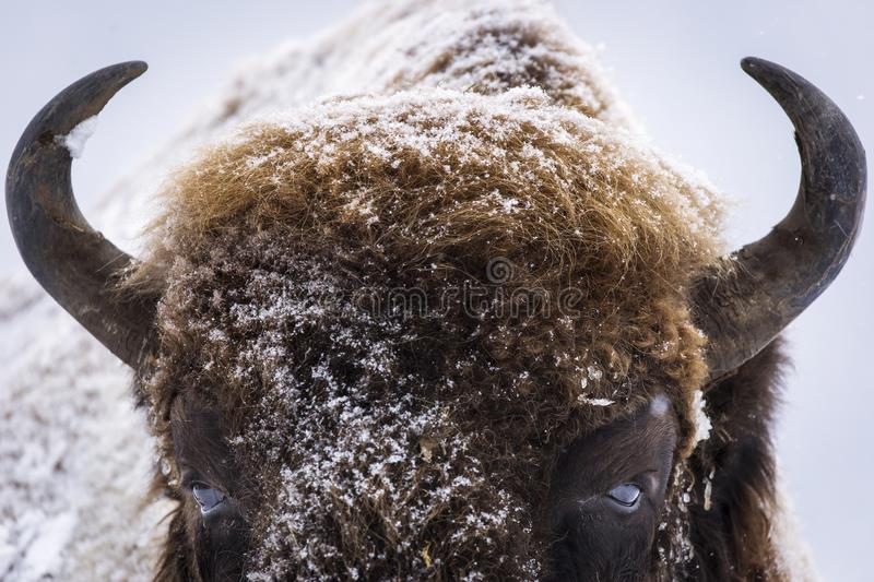 Bison or Aurochs in winter season in there habitat. Beautiful snowing stock image