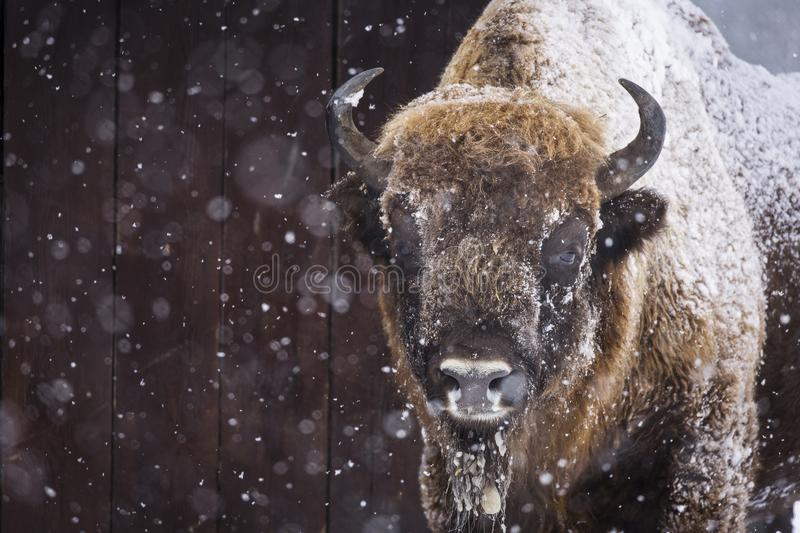 Bison or Aurochs in winter season in there habitat. Beautiful snowing stock photos