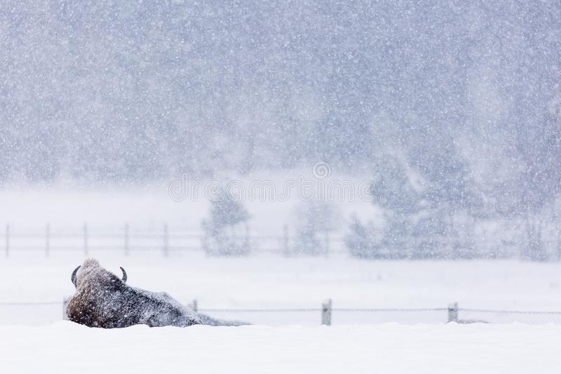 Bison or Aurochs in winter season in there habitat. Beautiful snowing royalty free stock image