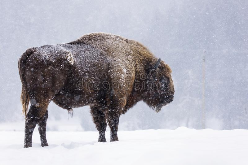 Bison or Aurochs in winter season in there habitat. Beautiful snowing royalty free stock images