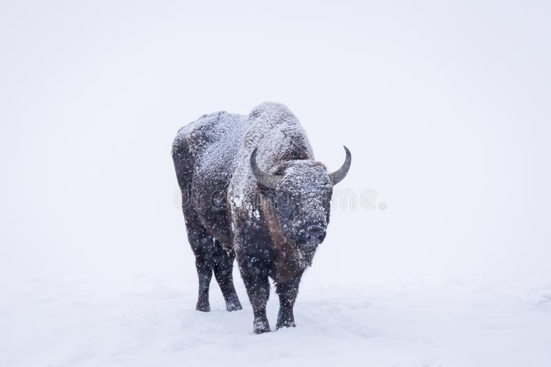 Bison or Aurochs in winter season in there habitat. Beautiful snowing stock images
