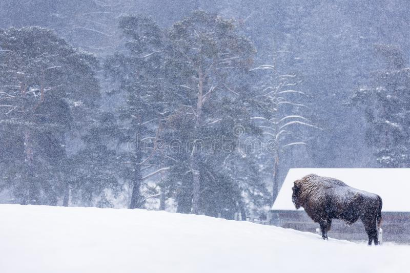 Bison or Aurochs in winter season in there habitat. Beautiful snowing stock photography