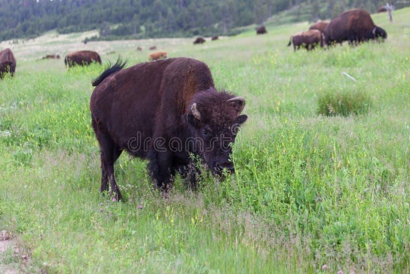 Bison avec le klaxon cassé image stock
