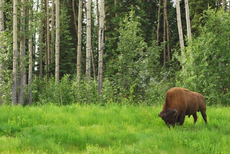 Bison (Büffel) stockbild
