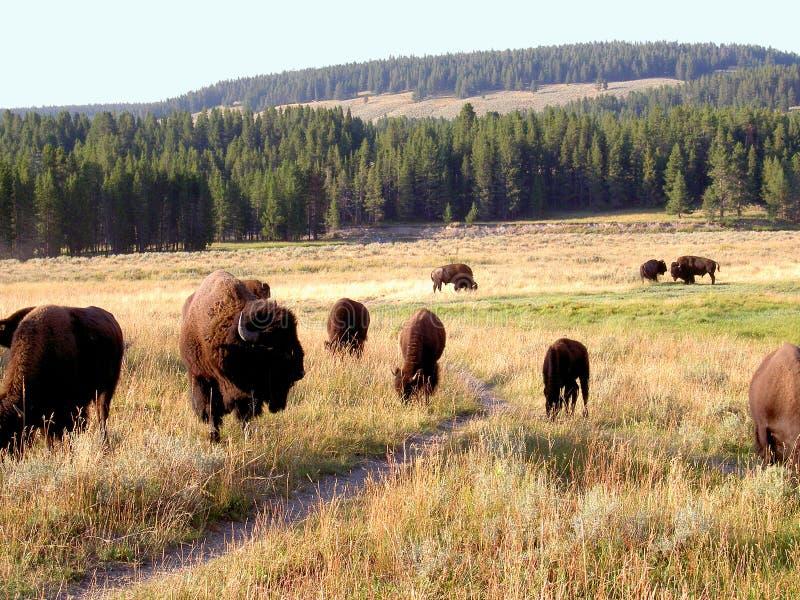 Bison (Büffel) bei Yellowstone 1 stockbilder