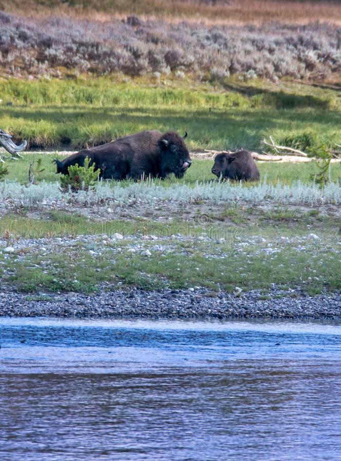 Buffalo and baby calf in Yellowstone. A Bison and baby calf relax near a river in Yellowstone National Park stock images