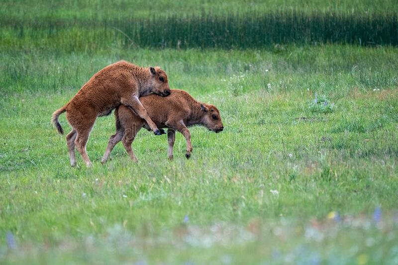 Bison baby calves playing and jumping in a meadow in Yellowstone National Park.  stock photos